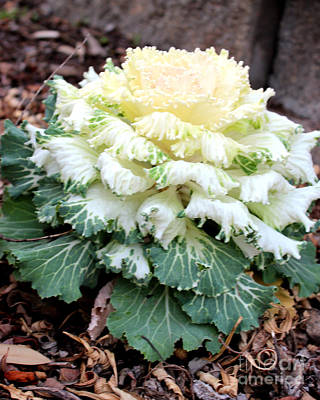 Photograph - Dynasty White Flowering Cabbage by Kathy White