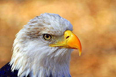 Birds Royalty Free Images - Eagle 7 Royalty-Free Image by Marty Koch