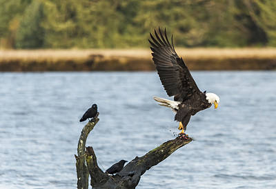 Photograph - Eagle Action by Loree Johnson