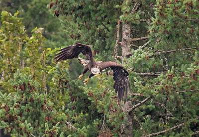 Photograph - Eagle Ambush by Loree Johnson