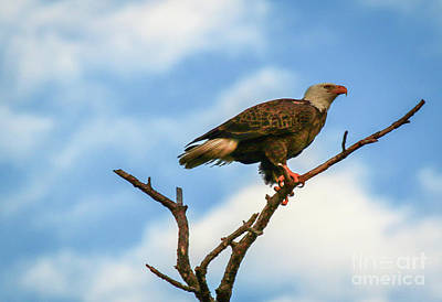 Photograph - Eagle And Blue Sky by Tom Claud