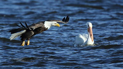 Photograph - Eagle And Pelican by Coby Cooper