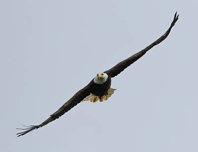 Photograph - Eagle Approach by Loree Johnson