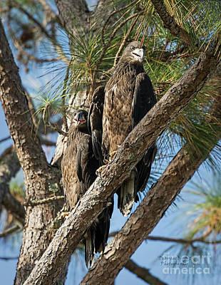 Photograph - Eagle Babies Of 2018 by Deborah Benoit