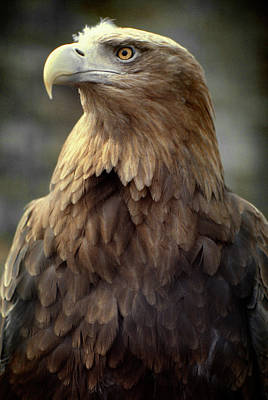 Photograph - Eagle by Bud Simpson