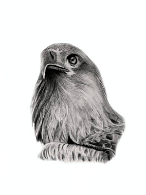 Drawing - Eagle by Claire Fagan