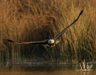 Photograph - Eagle Coming At You by Beth Sargent