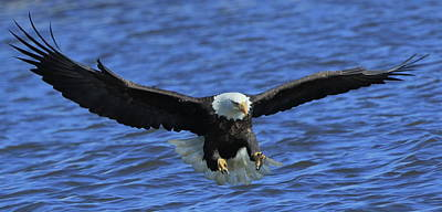 Photograph - Eagle Coming In by Coby Cooper