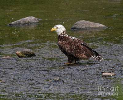 Photograph - Eagle Deep In Thought by Debbie Stahre