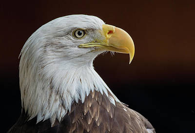 Photograph - Eagle Dignity by Greg Nyquist