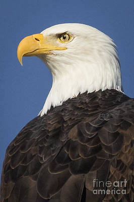 Photograph - Eagle Eye by Alice Cahill
