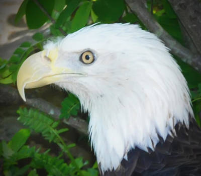 American Eagle Digital Art - Eagle Eye by Bill Cannon