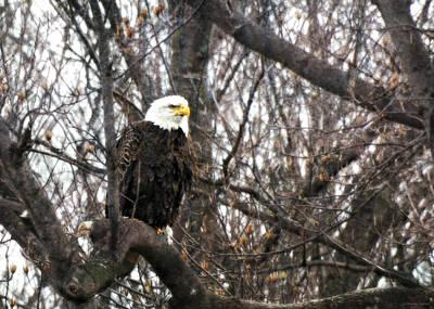 Photograph - Eagle Eye by Brenda Conrad