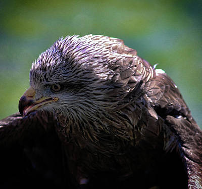 Birds Rights Managed Images - Eagle Eyes Royalty-Free Image by Martin Newman