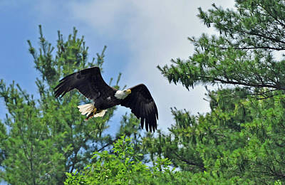 Photograph - Eagle Feeding Time by Glenn Gordon