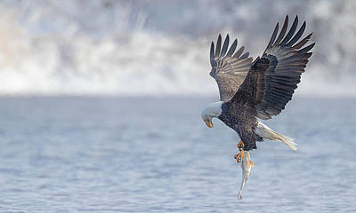 Photograph - Eagle Fishing  by Kelly Marquardt