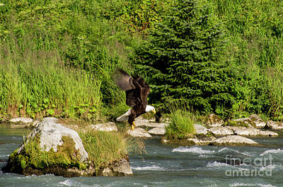 Photograph - Eagle Fishing On The Chilkoot In Haines by Louise Magno