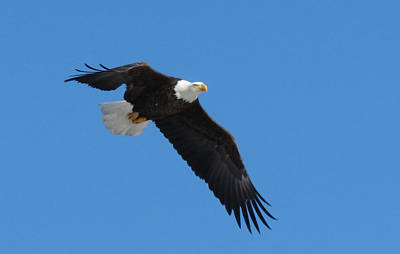 Photograph - Eagle Flight by Darcy Tate