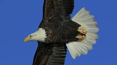 Photograph - Eagle Flying Closeup by Coby Cooper