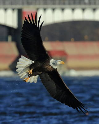 Photograph - Eagle Flying by Coby Cooper