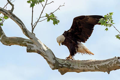 Photograph - Eagle Flying Lessons 1 by Susan Rissi Tregoning