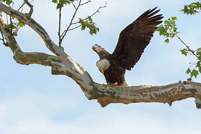 Photograph - Eagle Flying Lessons 2 by Susan Rissi Tregoning