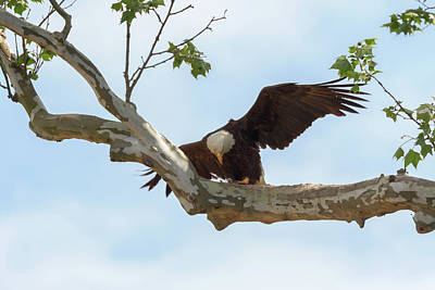 Photograph - Eagle Flying Lessons 3 by Susan Rissi Tregoning