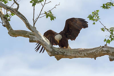 Photograph - Eagle Flying Lessons 4 by Susan Rissi Tregoning