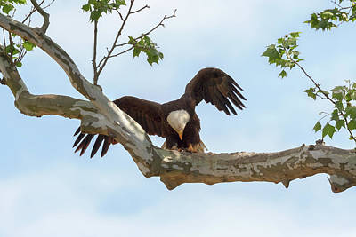 Photograph - Eagle Flying Lessons 6 by Susan Rissi Tregoning