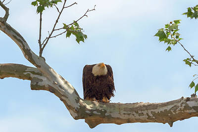 Photograph - Eagle Flying Lessons 7 by Susan Rissi Tregoning