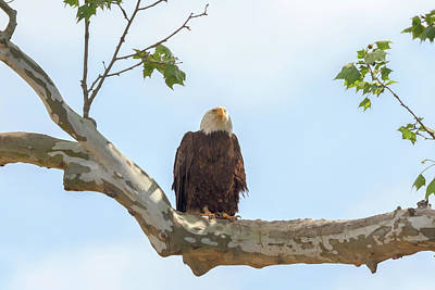 Photograph - Eagle Flying Lessons 8 by Susan Rissi Tregoning