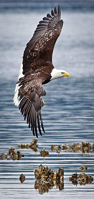 Photograph - Eagle Flying Over Oyster Beds by Athena Mckinzie