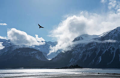 Photograph - Eagle Flying Over The Chilkat Inlet by Michele Cornelius