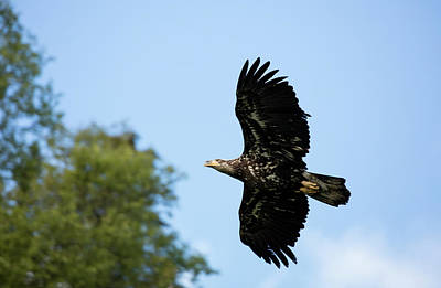 Photograph - Eagle Flying Towards To Trees by Gloria Anderson