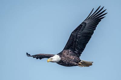 Photograph - Eagle Gliding  by Paul Freidlund
