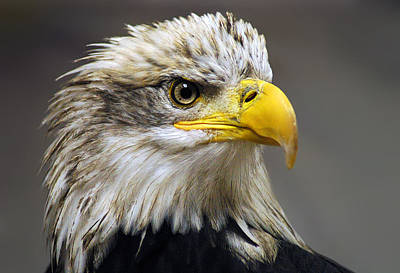 Bald Photograph - Eagle by Harry Spitz