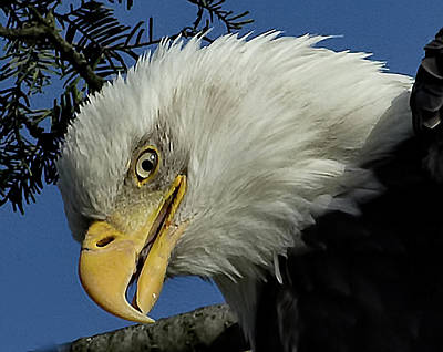 Photograph - Eagle Head by Sheldon Bilsker