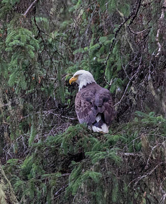 Photograph - Eagle High In A Tree by Gloria Anderson
