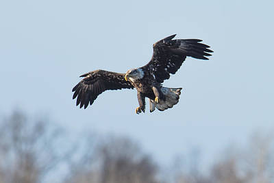 Bif Photograph - Eagle II by Paul Freidlund