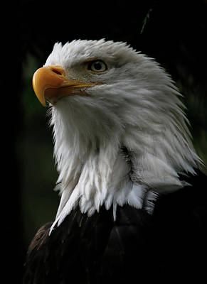 Photograph - Eagle In All Its Glory by Athena Mckinzie