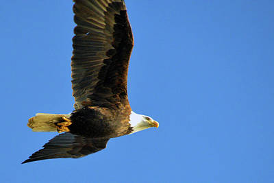 Photograph - Eagle In Flight by Brian O'Kelly