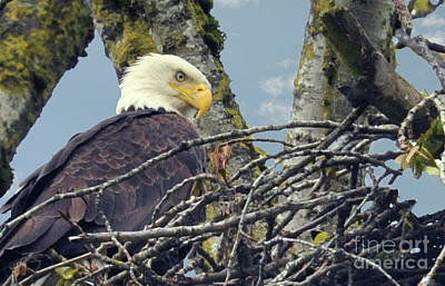 Art Print featuring the photograph Eagle In Nest by Rod Wiens
