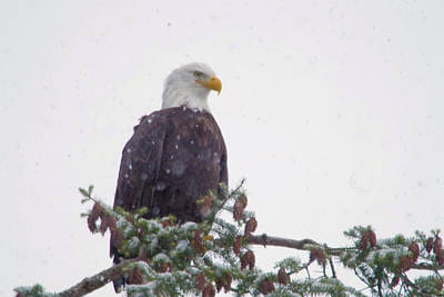 Gelid Photograph - Eagle In Snowfall by Jeff Swan