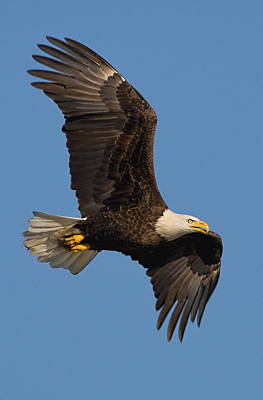 Photograph - Eagle In Sunlight by William Jobes