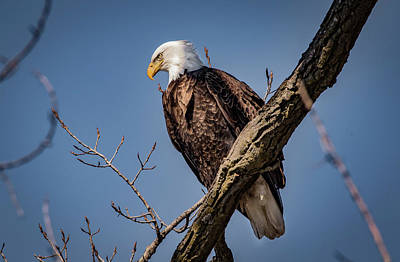 Photograph - Eagle In Sunshine by Ray Congrove