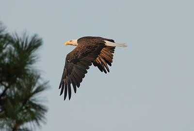 Photograph - Eagle In The Pines by Loree Johnson