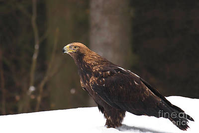 Eagle In The Snow Art Print