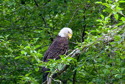 Photograph - Eagle In The Tree by Anthony Jones
