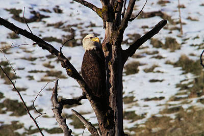 Eagle In The V Of A Tree Art Print