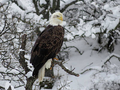 Photograph - Eagle In Winter by Jacqueline  DiAnne Wasson